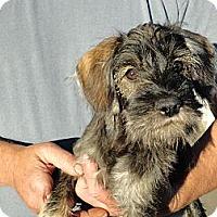 Adopt A Pet :: Bella pup - Sacramento, CA