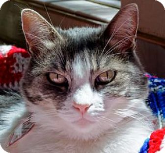 Domestic Shorthair Cat for adoption in Mountain Center, California - Posie
