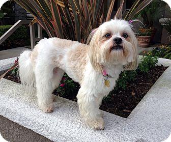 Adorable Lhasa Apso/Bichon Frise Female Puppy | Kendal ...  |Lhasa Dog Mix