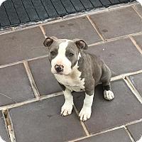 Adopt A Pet :: Lilah - Livermore, CA