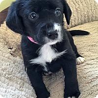 Adopt A Pet :: Kimber - Waldorf, MD