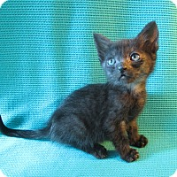 Bombay Cat for adoption in San Bernardino, California - Kieran
