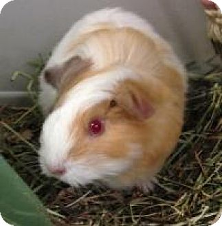 Guinea Pig for adoption in Quilcene, Washington - Tater