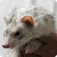 Adopt A Pet :: Reyna - Balch Springs, TX