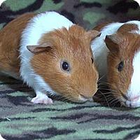 Adopt A Pet :: Paras - Steger, IL