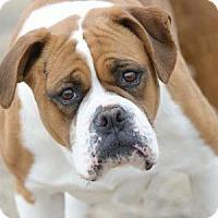 Boxer Dog for adoption in Colorado Springs, Colorado - Amy