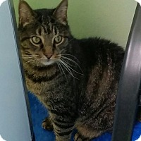 Domestic Mediumhair Cat for adoption in Chicago, Illinois - Clooney