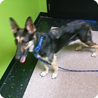 German Shepherd Dog Dog for adoption in SAN ANTONIO, Texas - TINA