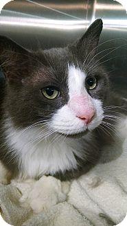 Maine Coon Cat for adoption in Fredericksburg, Virginia - Fu Man Chu