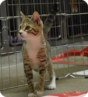 Domestic Shorthair Cat for adoption in Canastota, New York - Christabella