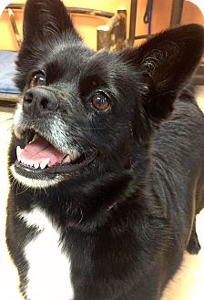 Corgi/Labrador Retriever Mix Dog for adoption in Ft Myers Beach, Florida - Happy Penny!!