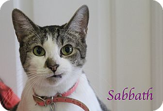 Domestic Shorthair Cat for adoption in Bradenton, Florida - Sabbath