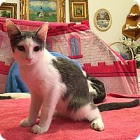 Domestic Shorthair Kitten for adoption in Lombard, Illinois - Schnapps