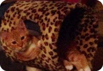 Domestic Mediumhair Kitten for adoption in Orlando, Florida - Stark II