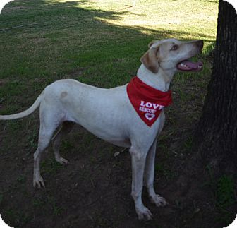 Great Dane/Hound (Unknown Type) Mix Dog for adoption in Burleson, Texas - Dover
