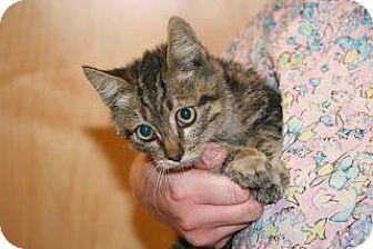 Domestic Shorthair Kitten for adoption in Wildomar, California - 317561