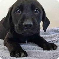 Adopt A Pet :: Avery - Gahanna, OH