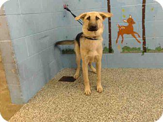 German Shepherd Dog Mix Dog for adoption in San Bernardino, California - URGENT on 11/2 SAN BERNARDINO