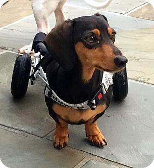 Dachshund Dog for adoption in Orangeburg, South Carolina - Oliver2