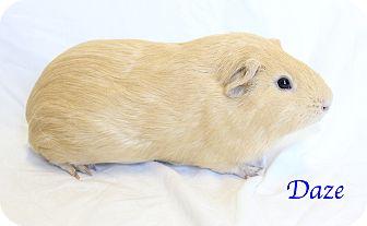 Guinea Pig for adoption in Bradenton, Florida - Daze