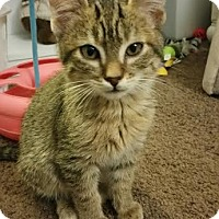 Adopt A Pet :: Olaf - Chandler, AZ