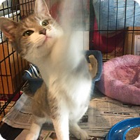 Adopt A Pet :: ITTY BITTY - Glen cove, NY