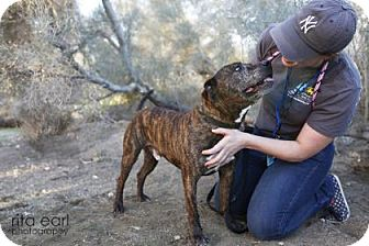 American Bulldog/Boxer Mix Dog for adoption in Palm Springs, California - Reese