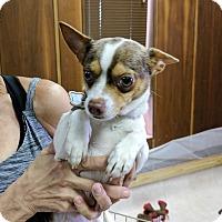 Adopt A Pet :: Luke - Tavares, FL