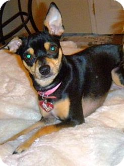 Miniature Pinscher/Chihuahua Mix Dog for adoption in Orange, California - Tini