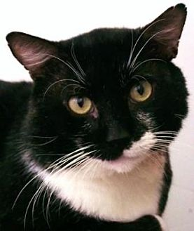 Domestic Shorthair Cat for adoption in Denver, Colorado - Niven