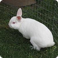 Adopt A Pet :: Marshmellow - Bonita, CA