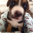 Adopt A Pet :: Molly's Pup Kennedy