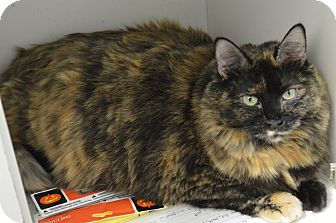 Domestic Mediumhair Cat for adoption in House Springs, Missouri - Naomi