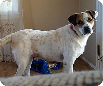 Labrador Retriever/St. Bernard Mix Dog for adoption in Long Beach, California - Izzy