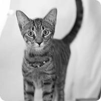 Adopt A Pet :: Hedy Lamarr - Little Rock, AR