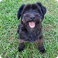 Schnauzer (Standard)/Poodle (Miniature) Mix Dog for adoption in Southington, Connecticut - Olive