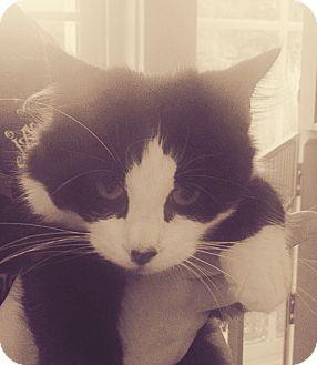 Domestic Mediumhair Cat for adoption in Gloucester, Virginia - SAHARA