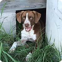 Pointer/Spaniel (Unknown Type) Mix Dog for adoption in Houston, Texas - Hoss