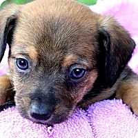 Adopt A Pet :: DOLLY(