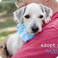 Adopt A Pet :: Auggie - Kansas City, MO