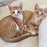 Adopt A Pet :: Charlie & Willie Wonka - Walnut Creek, CA