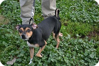 Chihuahua Mix Dog for adoption in Akron, Ohio - Acorn