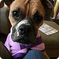 Adopt A Pet :: Itsy Bitsy - Austin, TX