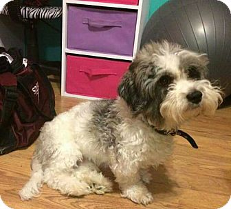 Shih Tzu Mix Dog for adoption in St John, Indiana - Buttons