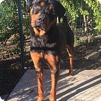 Adopt A Pet :: Benny - Santa Ana, CA
