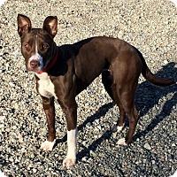 Adopt A Pet :: BRANDI (Auburn) energetic very loving smart girl - Bainbridge Island, WA