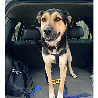 German Shepherd Dog Mix Dog for adoption in Matawan, New Jersey - Merlin