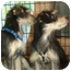Photo 3 - Schnauzer (Standard)/Dachshund Mix Dog for adoption in Los Angeles, California - Tanner & Jordan