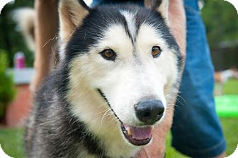 Husky Dog for adoption in Houston, Texas - Kazu