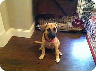 German Shepherd Dog/Labrador Retriever Mix Puppy for adoption in CHICAGO, Illinois - MACY